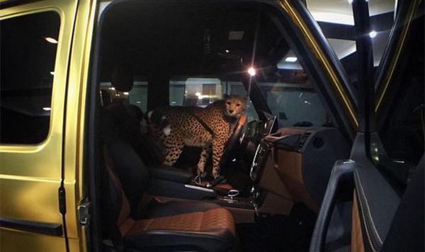Cheetah in The Golden Car of Turki bin Abdullah