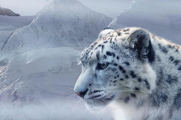 a-snow-leopard