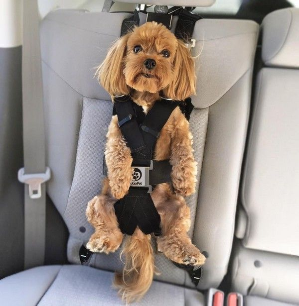 dog-with-seat-belt-in-car