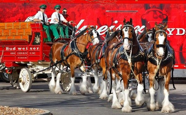 Clydesdale-horses-used-for-transporting-beer