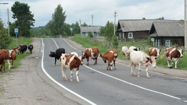 cows-walking-on-the-main-road