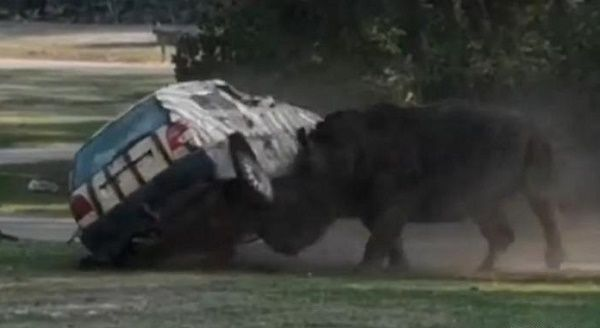 angry-rhino-attacking-keepers-car