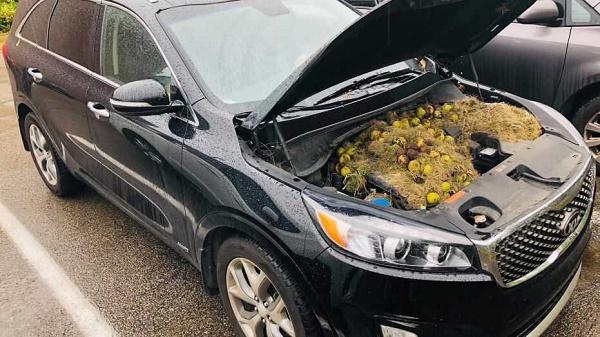 squirrels-store-walnuts-under-car-bonnet