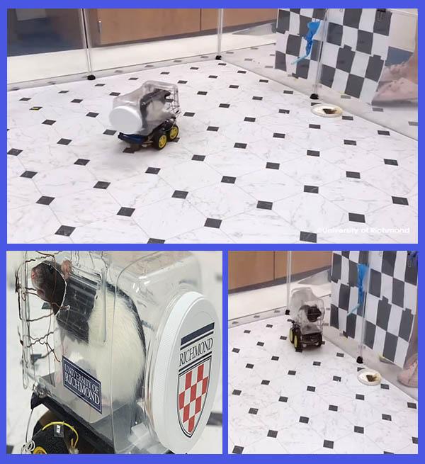 Rats-driving-tiny-electric-cars