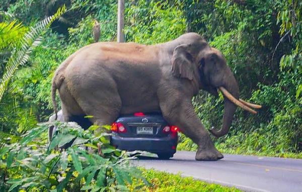 elephant-crushing-on-tourist-car