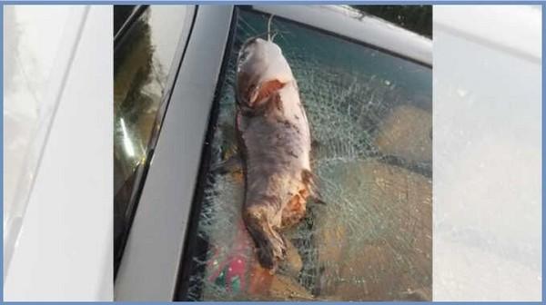 catfish-on-windscreen