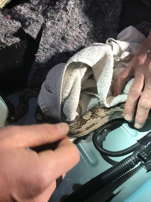 pet-snake-rescued-from-gear-stick