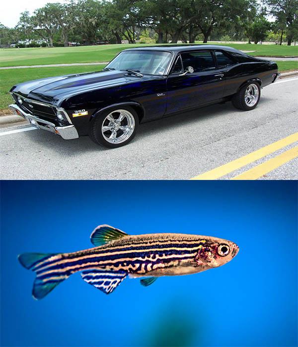 Chevy-Nova-car-and-Nova-fish