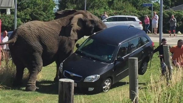 elephant-overturns-car