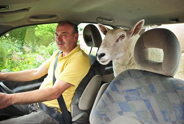 man-and-sheep-in-car