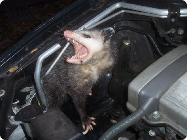 rodent-in-car