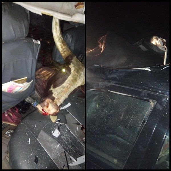 image-of-cow-crashed-into-a-car-in-sapele