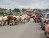 18 persons brush death as commercial bus collides with herds of cattle
