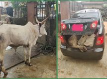 Nigerian driver carries full-grown cow in the boot of Toyota Corolla sedan