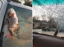 Catfish shatters woman's windscreen after dropped by flying bird