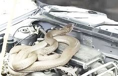 Snakes in the car: A summer nightmare