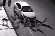 Shocking! A car is torn apart by a band of stray dogs!