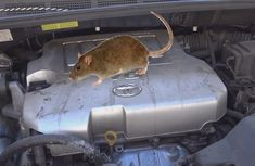 How do I get rats off my car engine?