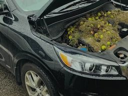Couple find out 200 walnuts under car bonnet. What?