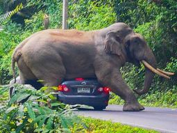 This 34-year-old elephant in Thailand loves hugging tourist's car (Photos)